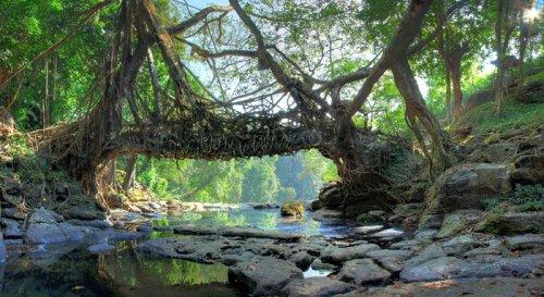 Живой мост в Индии