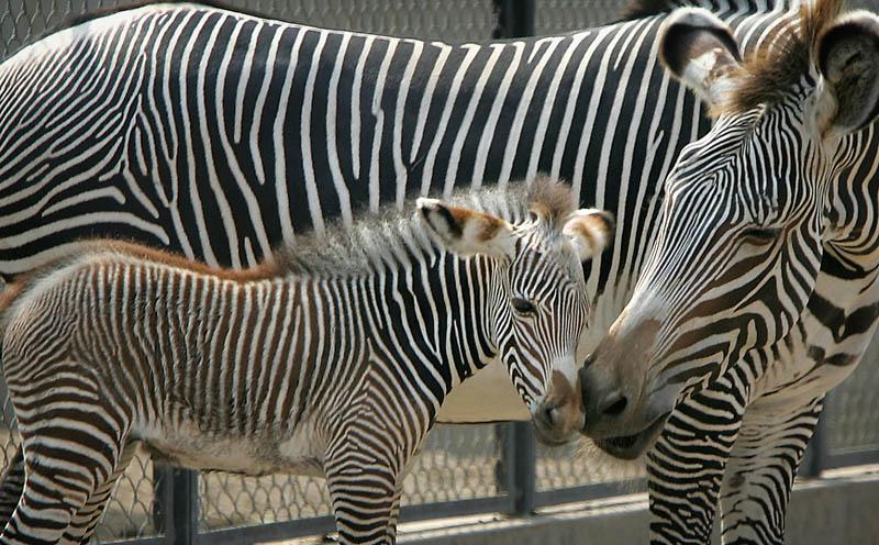Zebra riding a giraffe