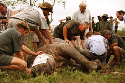 Необычная перевозка носорогов