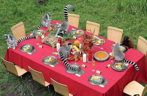День благодарения для лемуров