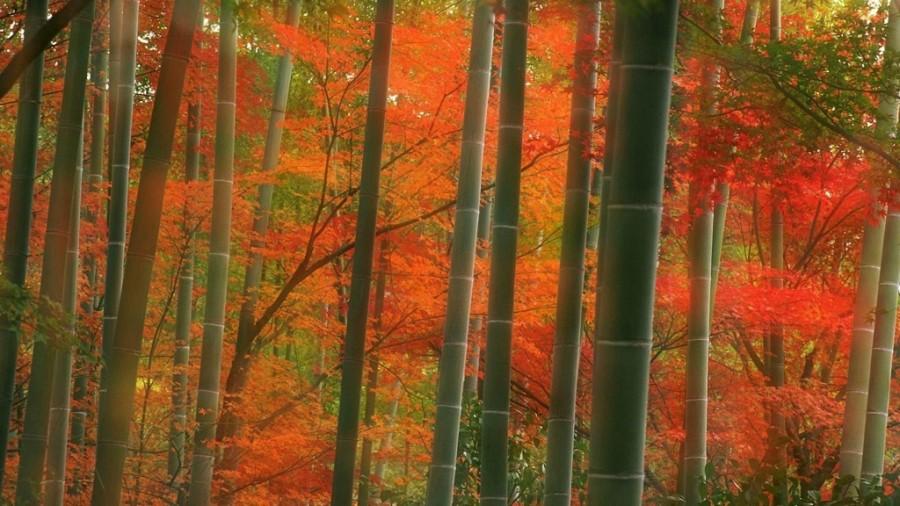 Как цветёт бамбук