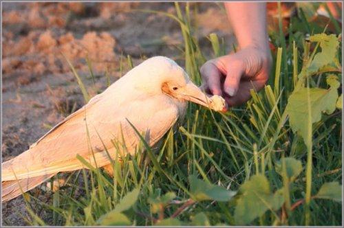 Настоящая белая ворона