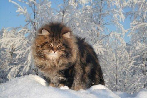 Шикарный сибирский кот