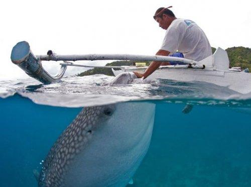 Китовых акул кормят из рук