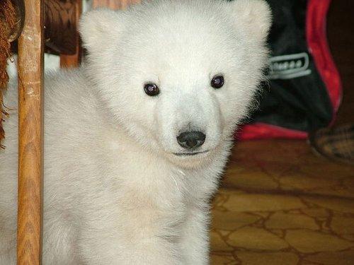 Спасение полярного медведя