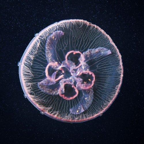 Свежая фото-подборка медуз от Александра Семенова