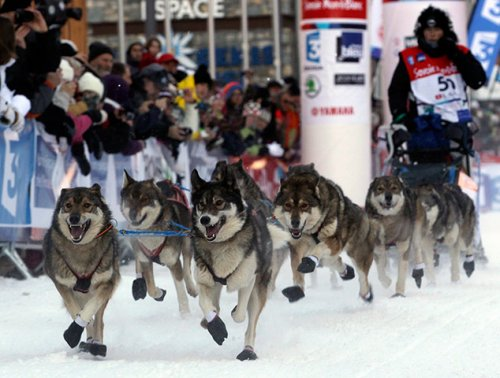 Гонка на собачьих упряжках La Grande Odyssée Savoie Mont Blanc