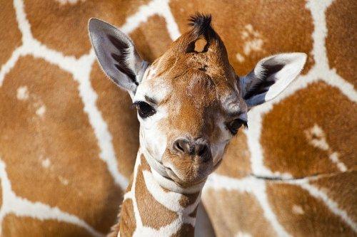 Первый детеныш жирафа в 2012 году в зоопарке Тампа Бэй