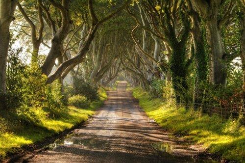 Аллея буков в Ирландии