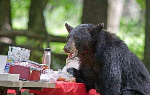Голодный медведь помешал семейному пикнику