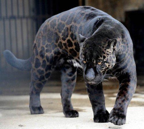 10 животных-меланистов