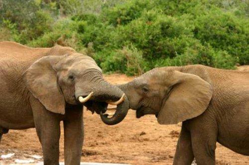 10 фактов о слонах