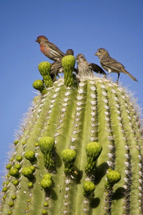 Жизнь на кактусе сагуаро