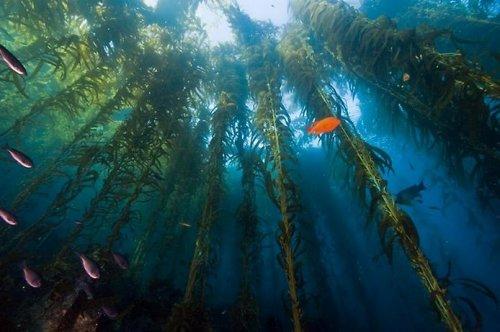 Подводный лес из водорослей