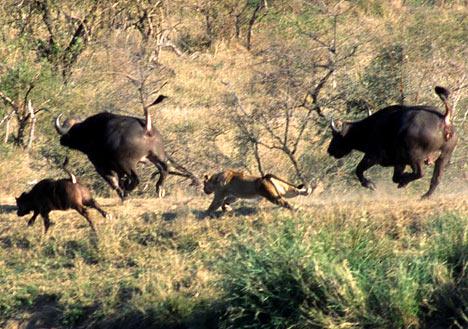 Топ-10: Жестокие схватки в дикой природе