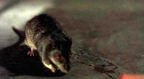 кот заразится бешенством от крысы рынке