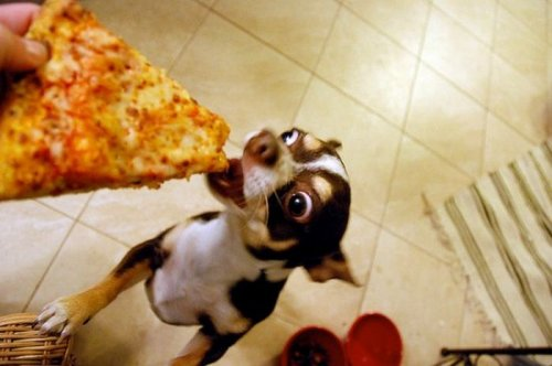 Собаки, которые любят пиццу