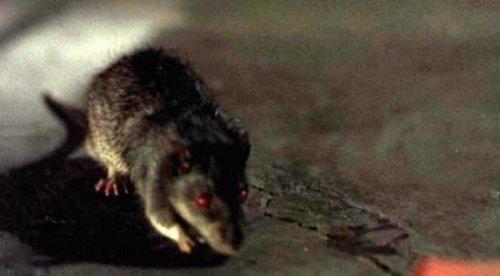 Топ-10: факты о крысах