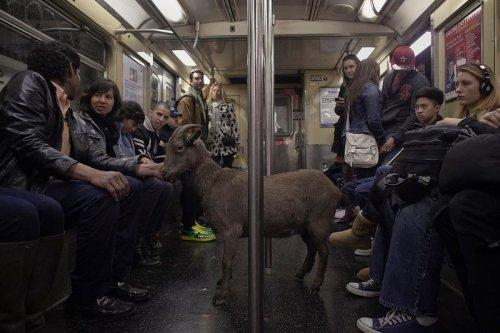 Городская коза из Нью-Йорка