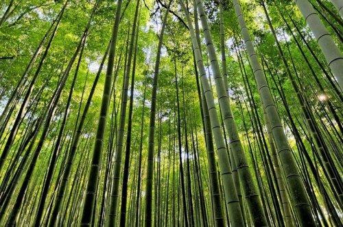 Бамбуковый лес Сагано в Киото