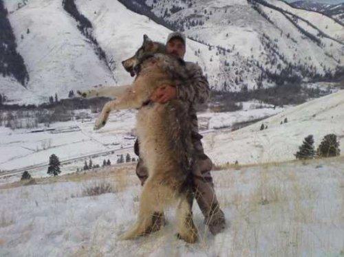 Интересные факты об одном из самых гордых и величественных животных на Земле - волках.