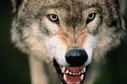 Топ-10: факты о волках
