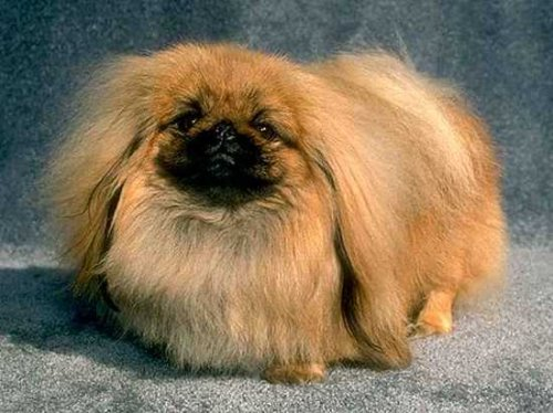 Топ-10: Агрессивные собаки, которых часто не воспринимают в серьез