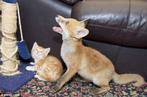 Котята вылечили лисенка