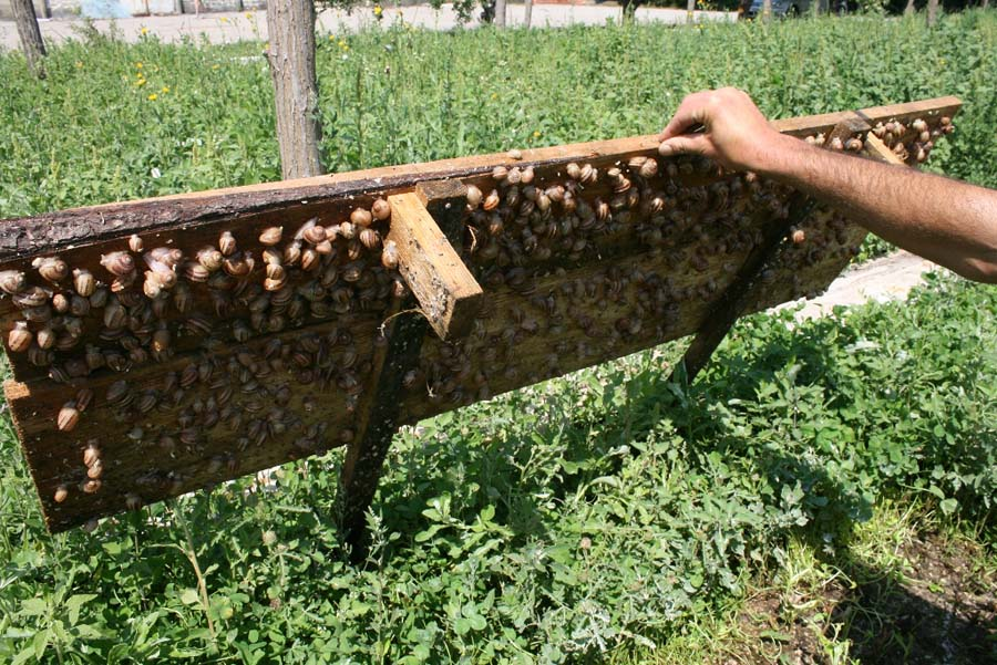 snail farming 7 purchase several pounds of cornu aspersum, helix aspersa or helix pomatia snails from a reputable breeder these can be shipped directly to your farm.