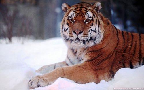 Красивые большие кошки