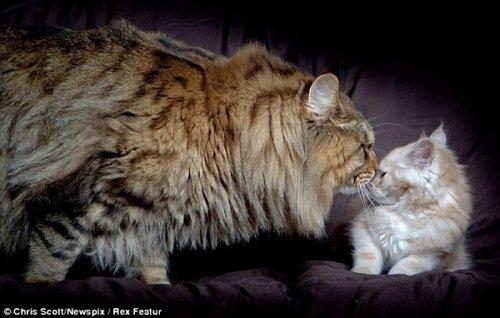 Cамый крупный кот в мире