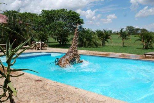 Жираф зашел искупаться