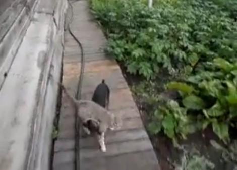 Пес тащит кошку в дом