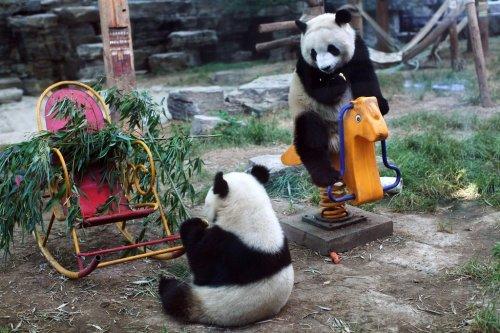 Милые и забавные панды из зоопарка Пекина