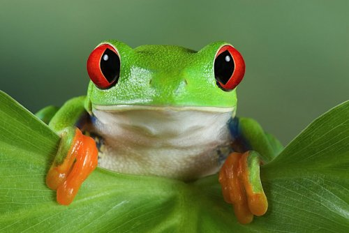 Красноглазая квакша - мультяшная лягушка