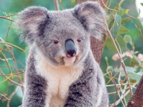 Как выглядит неухоженный коала