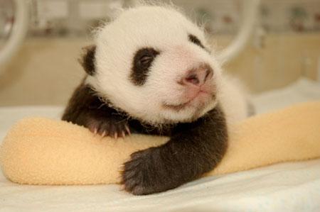 Как растет и развивается панда