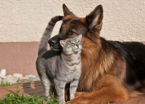 Дружба кота и овчарки