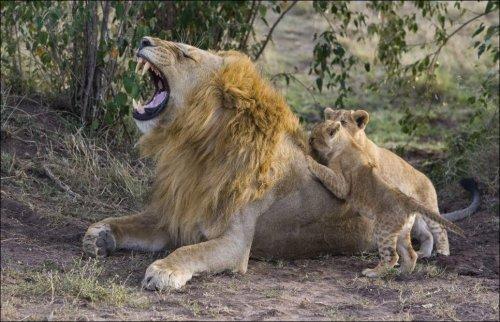 Первая встреча львят с отцом