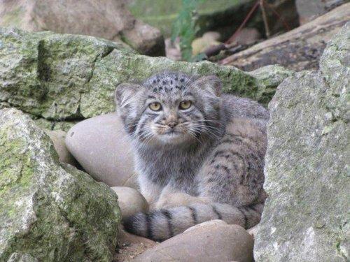 Очаровательные котята манула