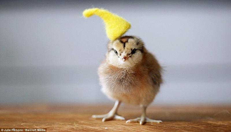 Цыплята в одежде картинки