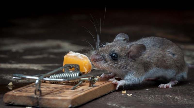какие животные ловят мышей