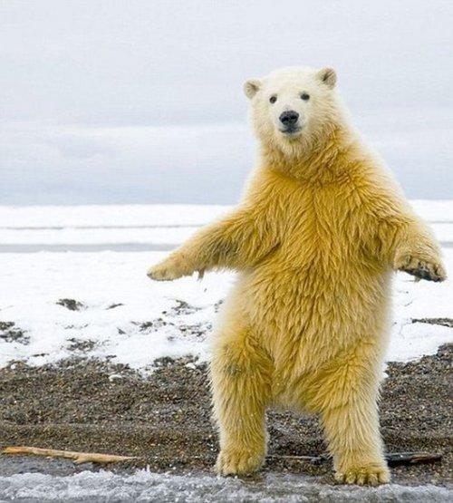 Полярный медведь танцует макарену