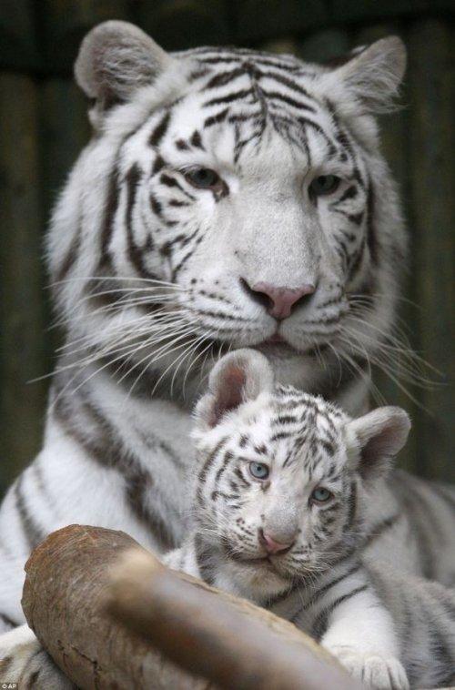 Три белых бенгальских тигренка