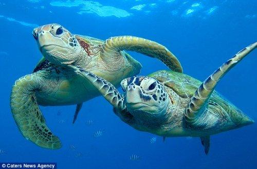 Милое семейство морских черепах