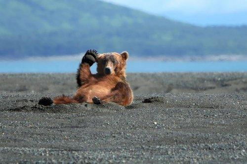 Забавные медведи на отдыхе