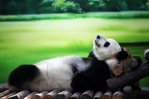 Отдыхающая панда: найдите 10 отличий от человека