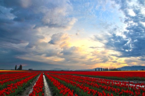 Море тюльпанов в Долине Скагит