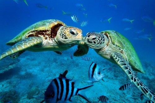 Подводная фотосессия двух зеленых черепах