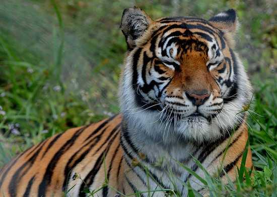 Хабаровский край: Амурский тигр-людоед. Что делать? »